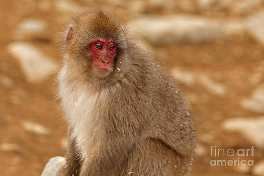 Snow Monkey Contemplation by Natural Focal Point Photography