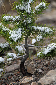 Snow on Baby Pine Tree in Yellowstone by Bruce Gourley
