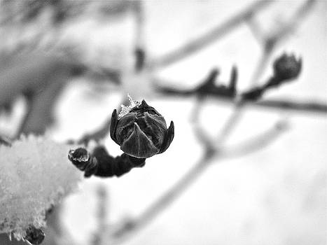 Sandy Tolman - Snow on Dead Buds 9014