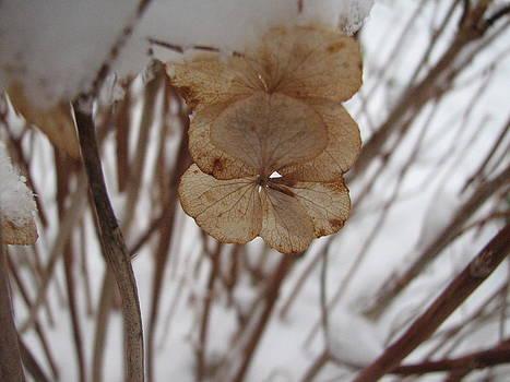 Sandy Tolman - Snow on Dried Petals 9174