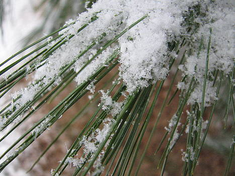 Sandy Tolman - Snow on Pine Needles 9423