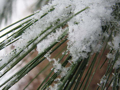 Sandy Tolman - Snow on Pine Needles 9426