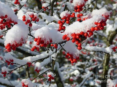 Snow on Red Berries by Thierry Borcy