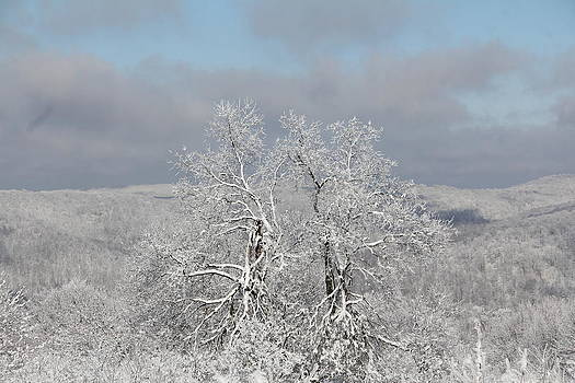 Snow Trees by Carolyn Postelwait