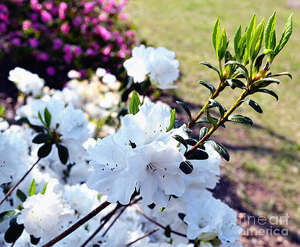 Snow White Azaleas by Eva Thomas