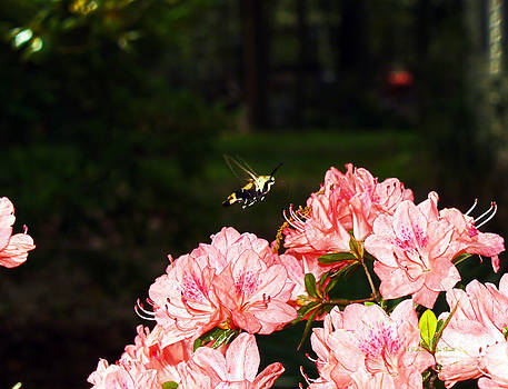Snowberry Clearwing I by Patricia Griffin Brett