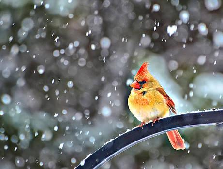 Snowbird by Jeff R Clow