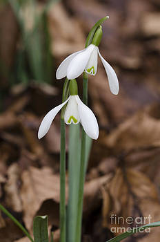 Snowdrop pair by Steev Stamford