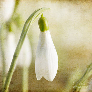 Snowdrop textured by Steev Stamford