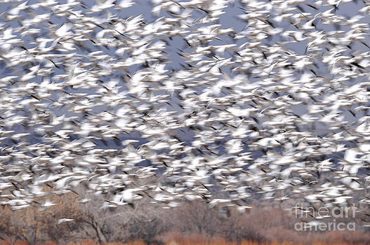 Snowgeese in fly by Thanh Nguyen