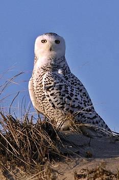 Snowy Owl on Plum Island by Rick Frost