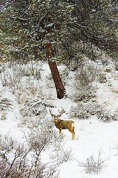 Steve Krull - Snowstorm Buck