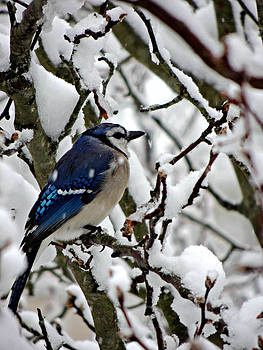 Kimberly Perry - Snowy Blue Jay