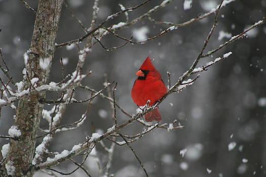 Christmas Snowy Cardinal by Beth Andersen