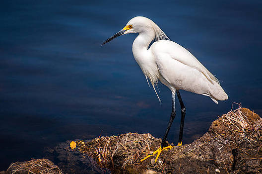 Snowy Egret - Ding Darling by Dustin Ahrens
