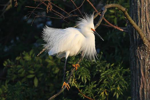 Snowy Egret 1 by John Rockwood