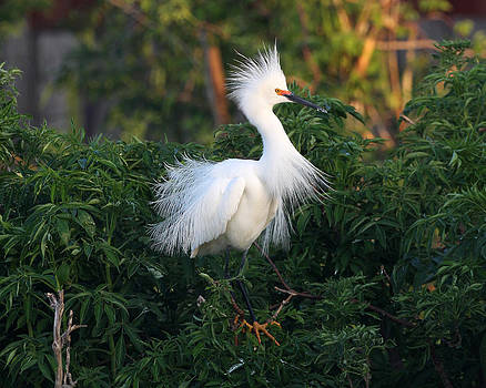 Snowy Egret 2 by John Rockwood