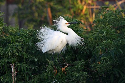 Snowy Egret 3 by John Rockwood