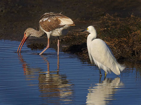 Bill Chambers - Snowy Egret and Juvenile White Ibis