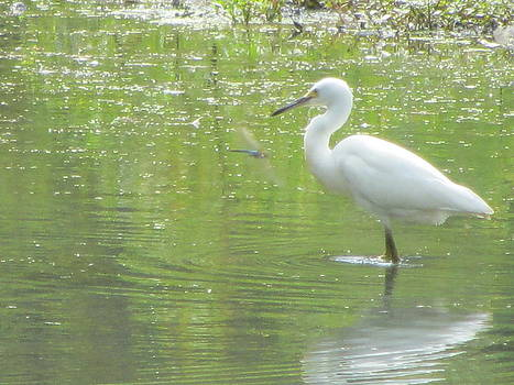 Snowy Egret And The Dragonfly by Debbie Nester