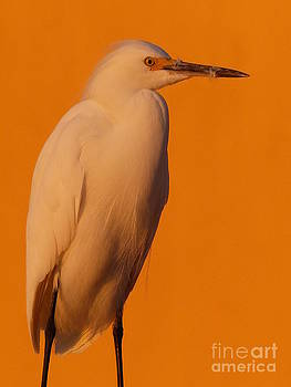 Christine Stack - Snowy Egret at Sunset