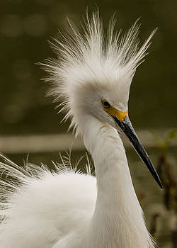 Snowy Egret Display by Steve Thompson