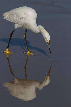Snowy Egret by Don Baccus