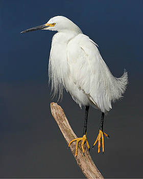 Snowy Egret by Erin Tucker