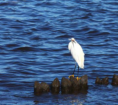 Snowy Egret by George Miller
