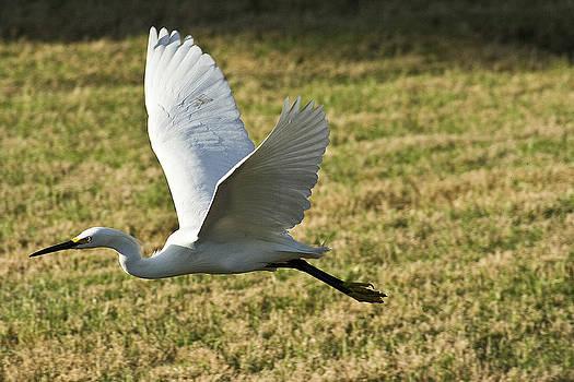 Snowy Egret I by Brad Holderman