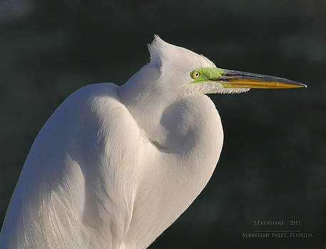 Snowy Egret by Julie Everhart
