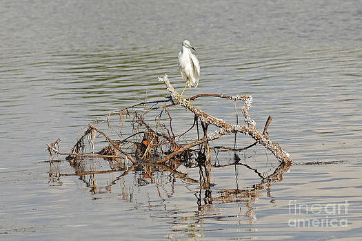 Snowy Egret on the Water by Natural Focal Point Photography