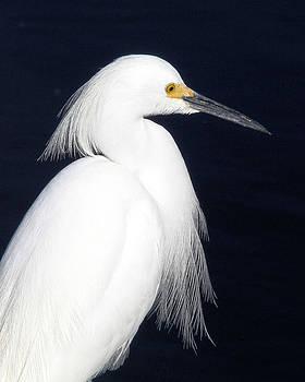 Doris Potter - Snowy Egret portrait