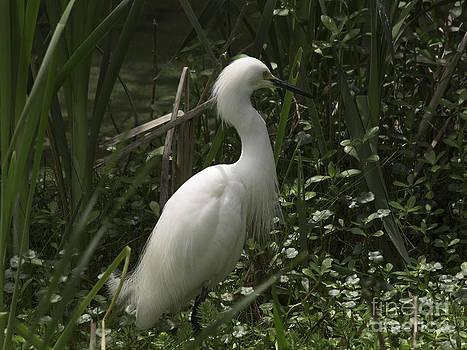 Tim Moore - Snowy Egret Pose