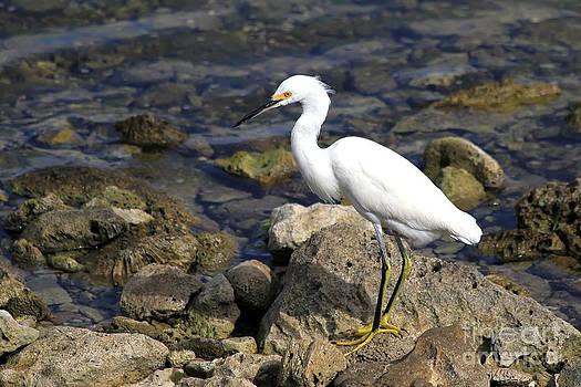 Teresa Zieba - Snowy Egret