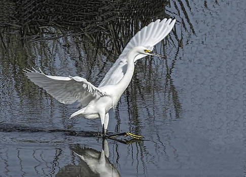 Terry Shoemaker - Snowy Egret