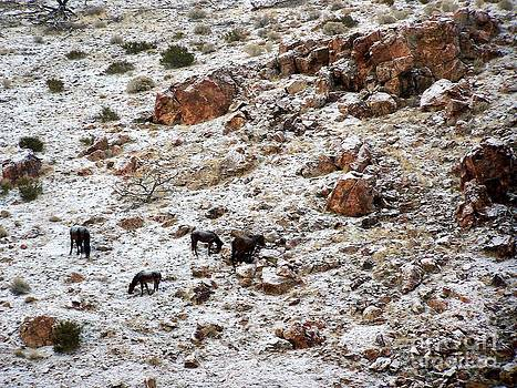 Snowy Grazing by Craig Downer