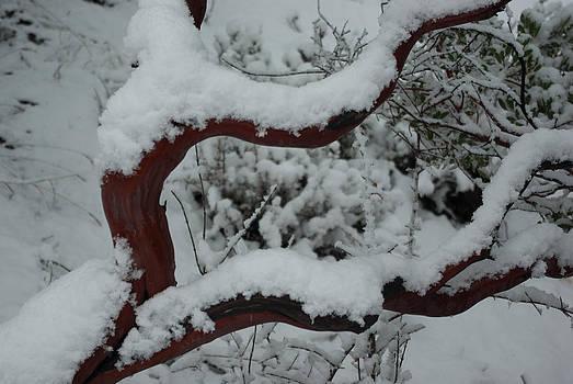 Snowy Manzanita  by Curtis Jones