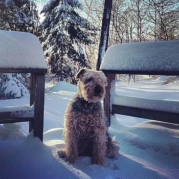 Snowy Morning #tesstheairedaleterrier by Teresa Delcorso