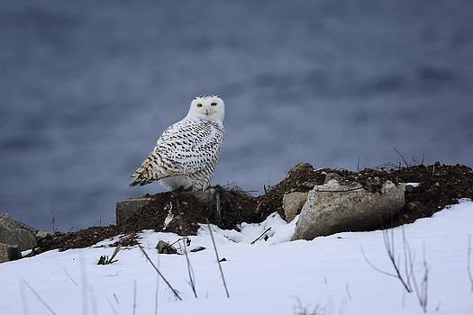 Gary Hall - Snowy Owl 2