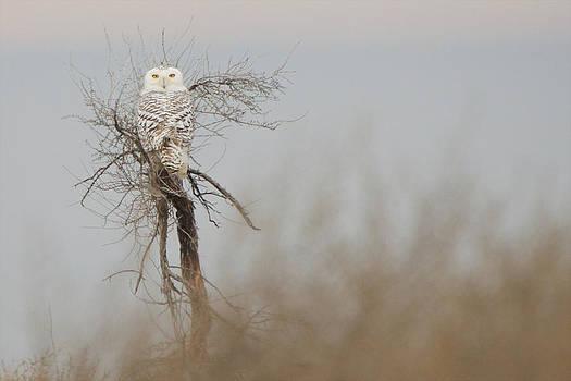 Snowy Owl 2 by Jay Warwick