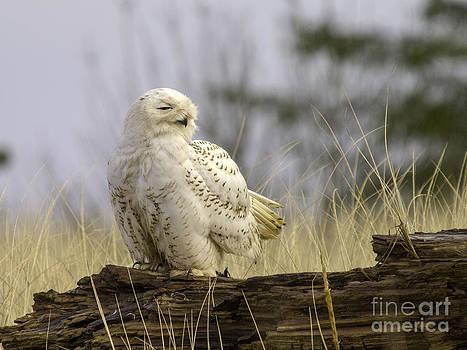 Tim Moore - Snowy Owl 2013