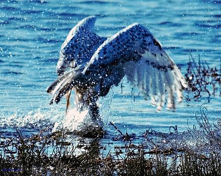 Snowy Owl Bathing 1 by Ed Nicholles