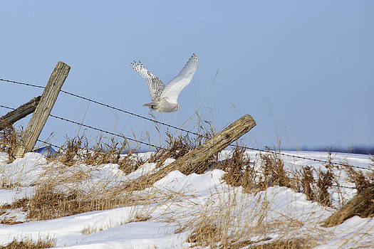 Gary Hall - Snowy Owl Flight