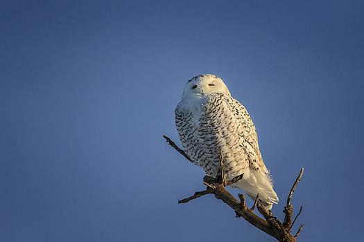 Gary Hall - Snowy Owl