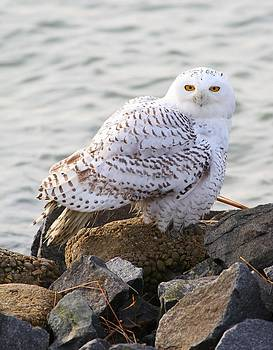 Snowy Owl In New Jersey by George Miller