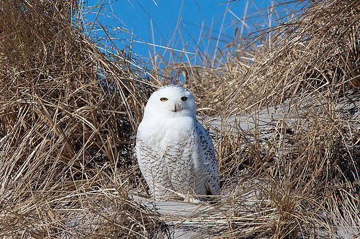 Snowy Owl in the Dunes by John Rockwood