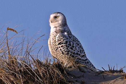 Snowy Owl in the Sun by Rick Frost