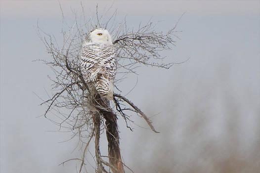 Snowy Owl by Jay Warwick