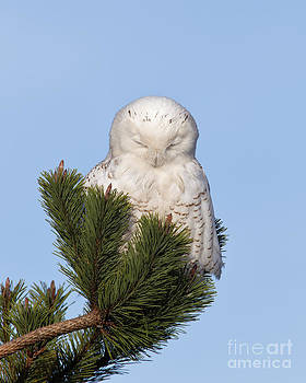 Joshua Clark - Snowy Owl